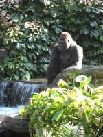 Gorilla by Waterfall