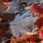 """Frosty Leaf"" by nicolaus"