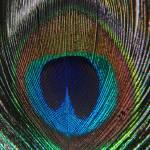 """""""Peacock feather"""" by prajuvikas"""