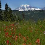 """Wildflowers & Mount Rainier, Washington"" by BrendanReals"