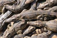 Crocodile Swarm