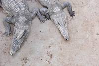 Suntanning Crocodile Buddies