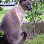 """Blue Point Siamese"" by rthornhill"
