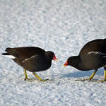 """Moorhens on the Ice and Snow (22059-RDA)"" by rodjohnson"