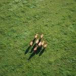 """Cows running away - taken from Hot Air Balloon"" by jonathanrimmer"