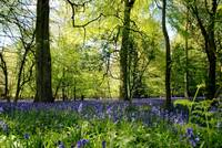 Bluebells in May