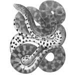 """Bullsnake, Pituophis sayi"" by CoachwhipBooks"