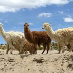 """Alpacas!"" by worldtravels"