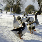 """Geese at the Frozen Horninglow Basin (21968-RDB)"" by rodjohnson"