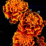 """Orange Marigold"" by IanGill"