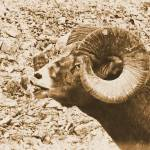 """Big Horn Sheep II"" by bobb"
