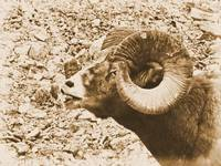 Big Horn Sheep II
