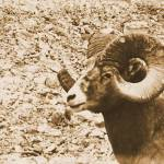"""Big Horn Sheep III"" by bobb"