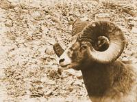 Big Horn Sheep III