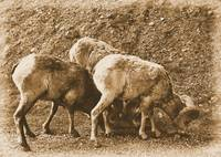 Big Horn Sheep VI