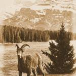 """Big Horn Sheep VIII"" by bobb"