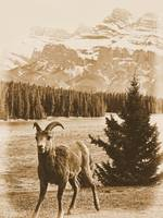 Big Horn Sheep VIII
