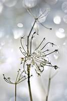Frozen Seed-head