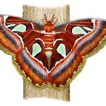 """Atlas Moth"" by inkart"