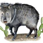 """Collared Peccary or Javelina"" by inkart"