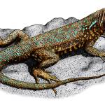 """""""Common Side-Blotched Lizard"""" by inkart"""