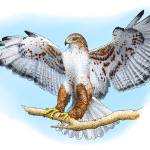 """Ferruginous Hawk"" by inkart"