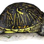 """Florida Box Turtle"" by inkart"