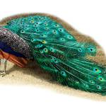 """""""Indian Peacock"""" by inkart"""