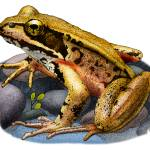 """""""Northern Red-Legged Frog"""" by inkart"""
