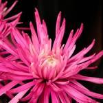 """Chrysanthemum"" by anymonkey"