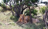 Lions in the shade