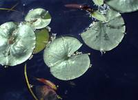 lily pond with gold fish