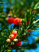 yew seeds