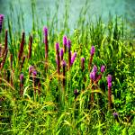 """Wild flowers on a lake"" by PositiveImage"