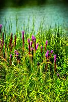 Wild flowers on a lake