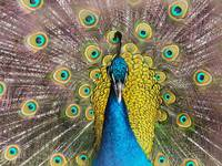 Peacock full view