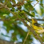 """""""Magnolia Warbler"""" by PrairiePerspectivesPhoto"""