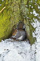 Grey Squirrel with its Food Store (21933-RDA)