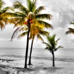 """Five Coconut Palms Hand Color"" by Cynthia_Burkhardt"