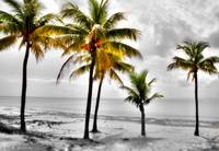 Five Coconut Palms Hand Color
