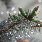 """Blue Spruce after Rain"" by CranshawPhotography"