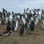 """Magellanic Penguins"" by adventures"
