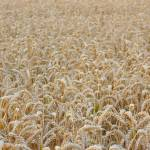 """Field of Wheat"" by PaulTruckel"