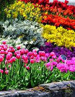 Tulips of Color