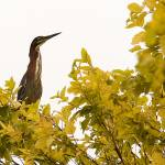 """Green Heron in Tree"" by PrairiePerspectivesPhoto"