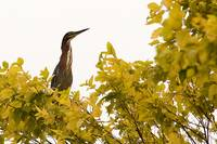 Green Heron in Tree
