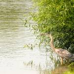 """Great Blue Heron"" by PrairiePerspectivesPhoto"