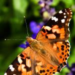 """Painted Lady"" by PrairiePerspectivesPhoto"