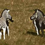 """Opposing Zebras"" by Teverant"