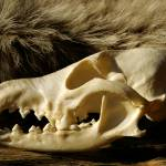 """Wolf Skull"" by Teverant"